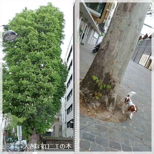 大きなマロニエの木