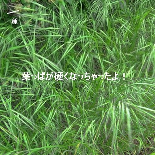葉っぱが種