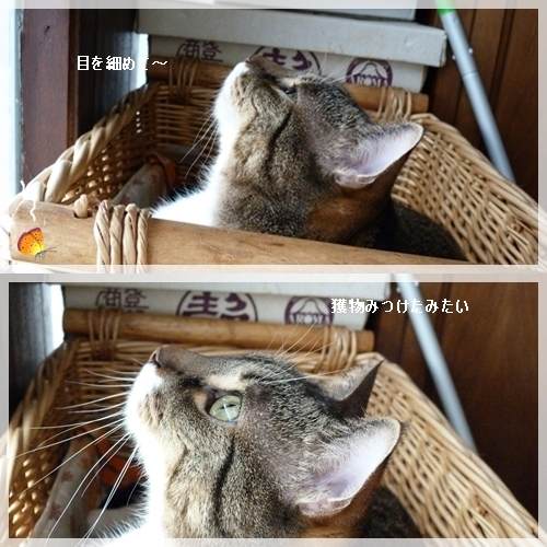 蛾を見つめるチャト
