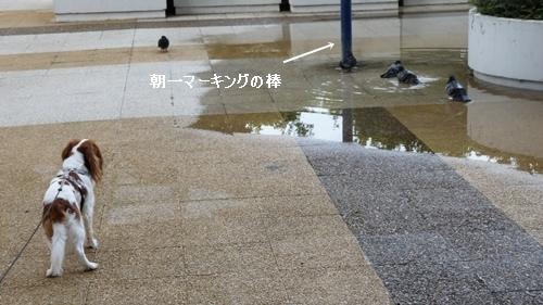 鳩水浴び1