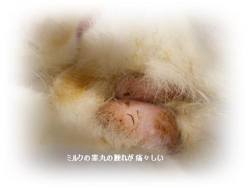 ミルク睾丸