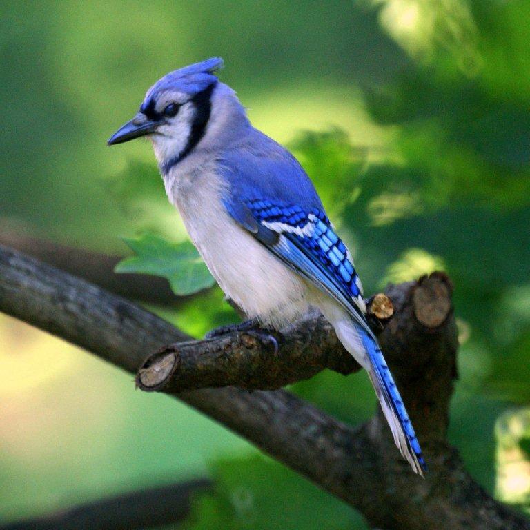 blue-jay1.jpg