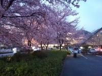 [旅行] GSX1300R 桜 神奈川県