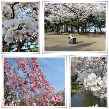 桜1 (800x800)