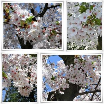 桜2 (800x800)
