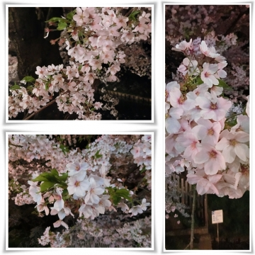 桜3 (800x800)