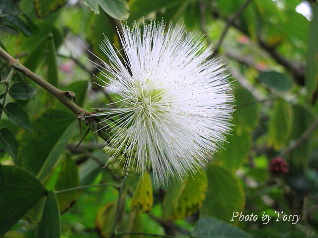 ベニゴウカン白花