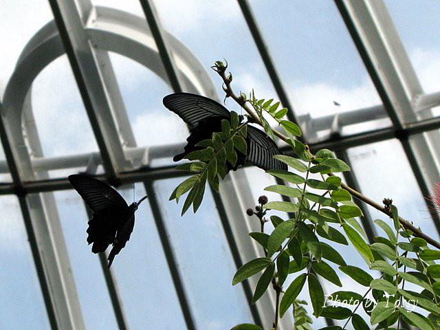 ベニゴウカン 蝶