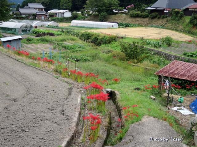 京都大原のヒガンバナ