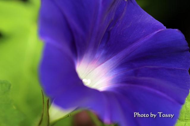 青紫のアサガオ