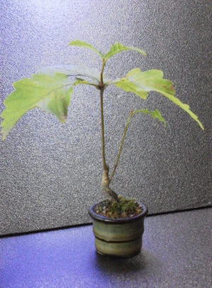 ミズナラ どんぐりの木。楽天オークションに出品しています。   ミズナラ どんぐりの木。  山採りしたものです。