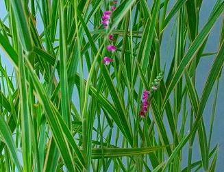 斑入り葦① H25年
