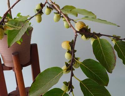 豆柿H26年9月①