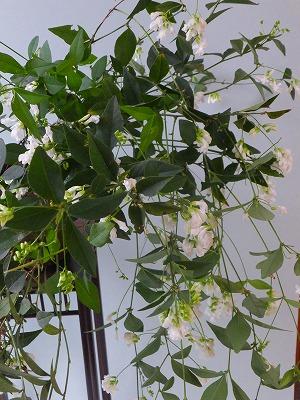 白花ナンテンハギH26年9月①