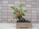 140921ヒメリンゴ