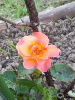 20140916アンネのバラが 咲きました。