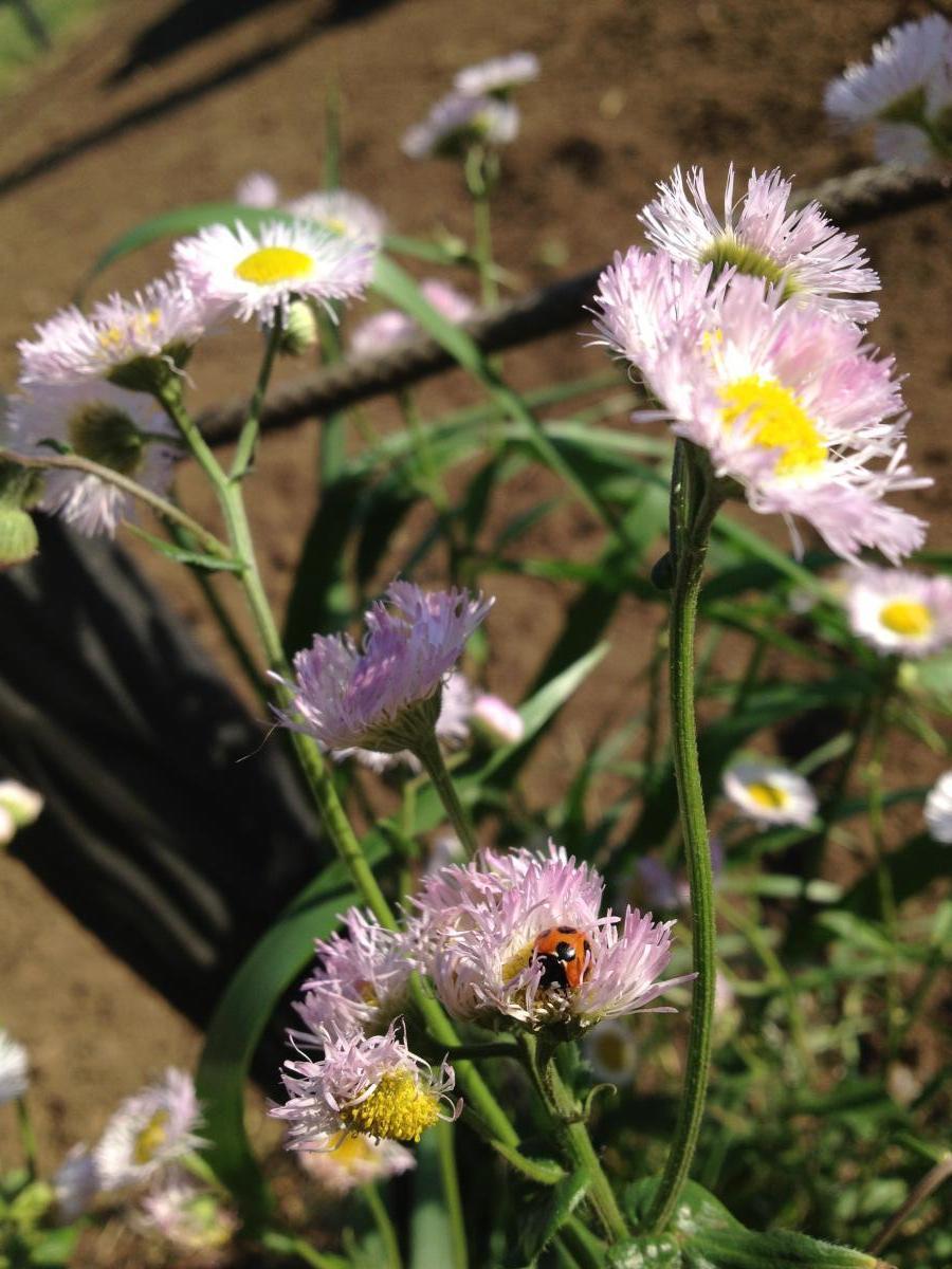 花とてんとうむし
