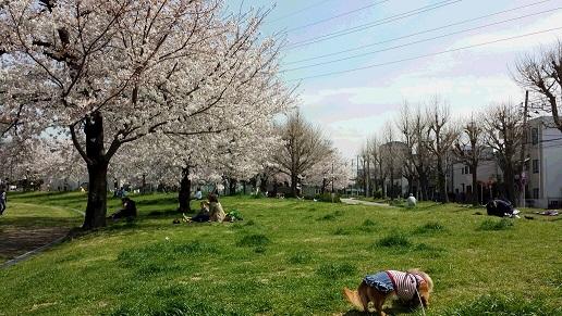 桜の公園でお散歩