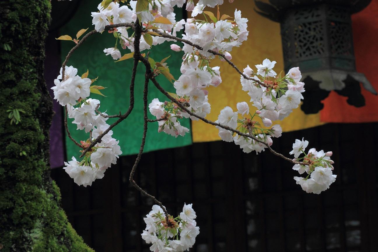 ブログ雨宝院歓喜桜