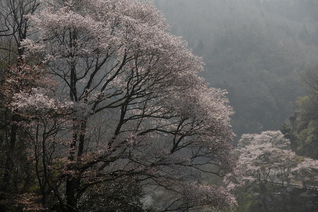 ブログ月ヶ瀬桜1
