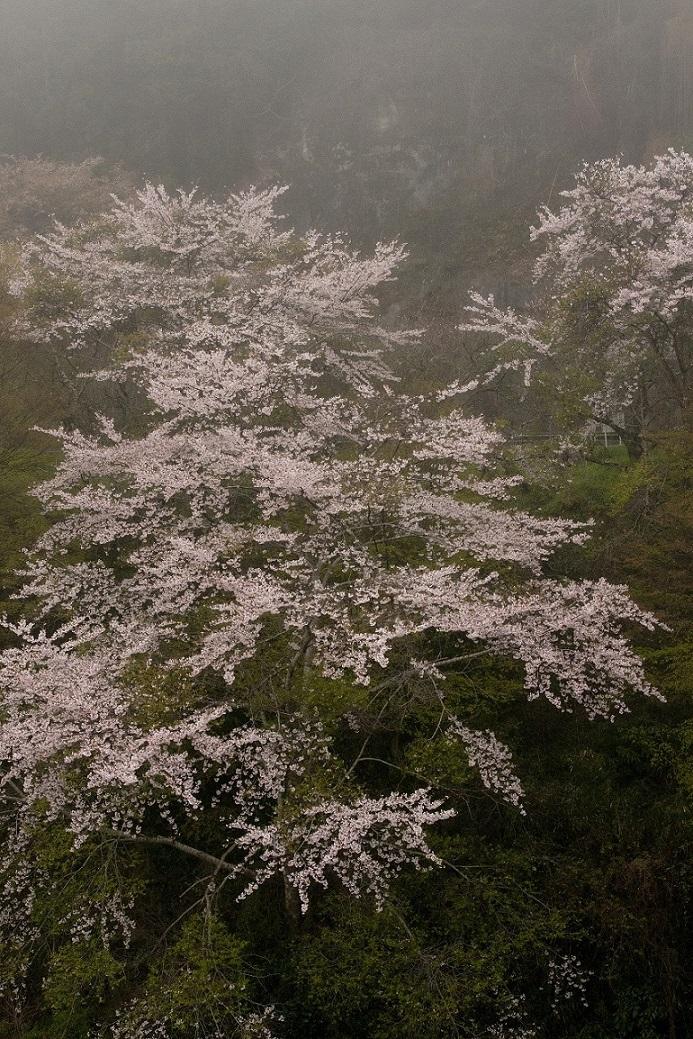 ブログ月ヶ瀬桜4