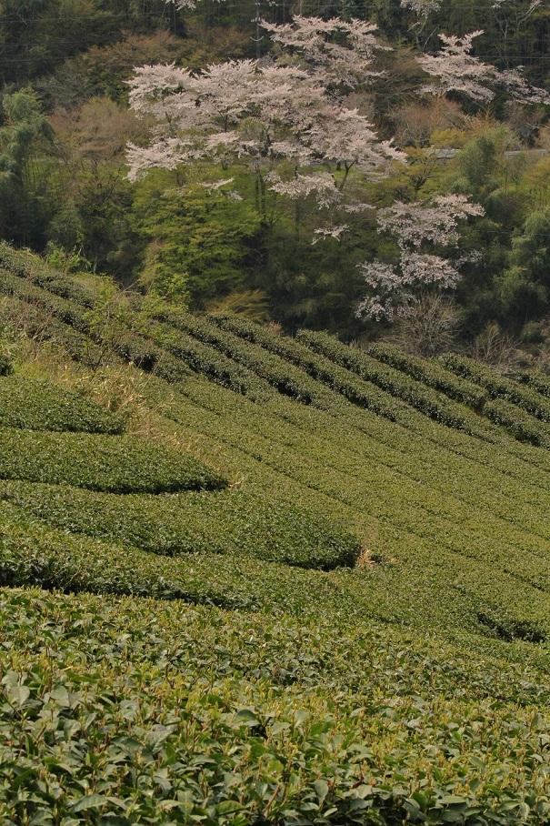 ブログ月ヶ瀬茶畑2