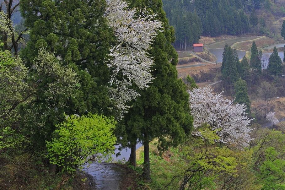 ブログ星峠桜2