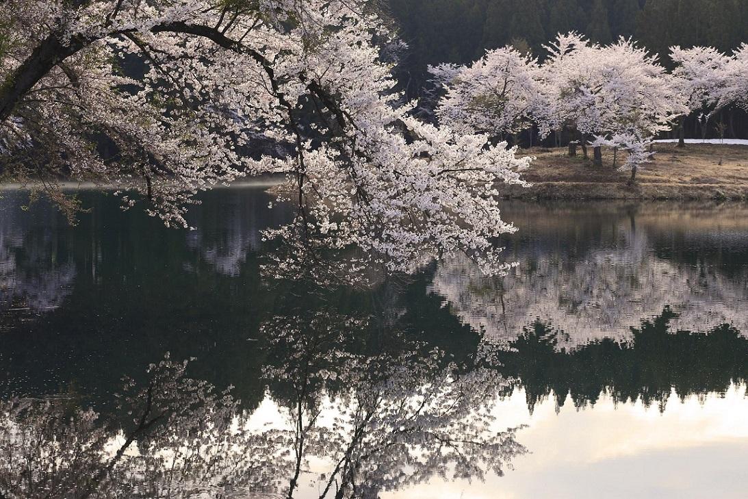 ブログ池の桜1