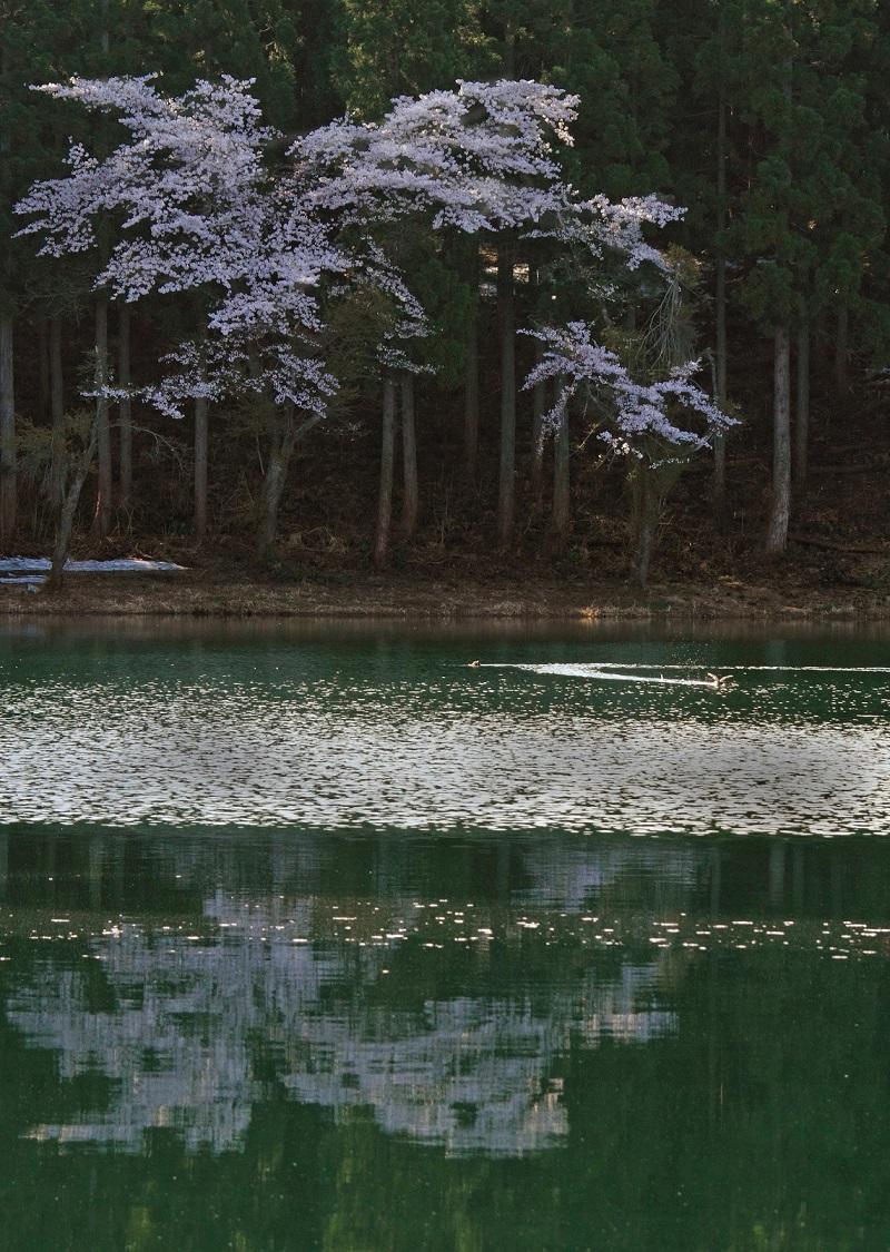 ブログ池の桜カイツブリ