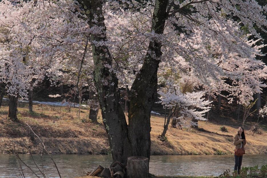 ブログ池の桜人