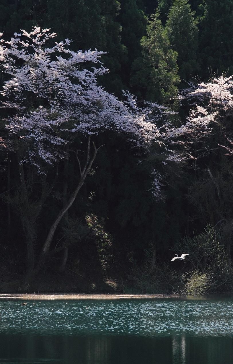 ブログ池の桜鳥