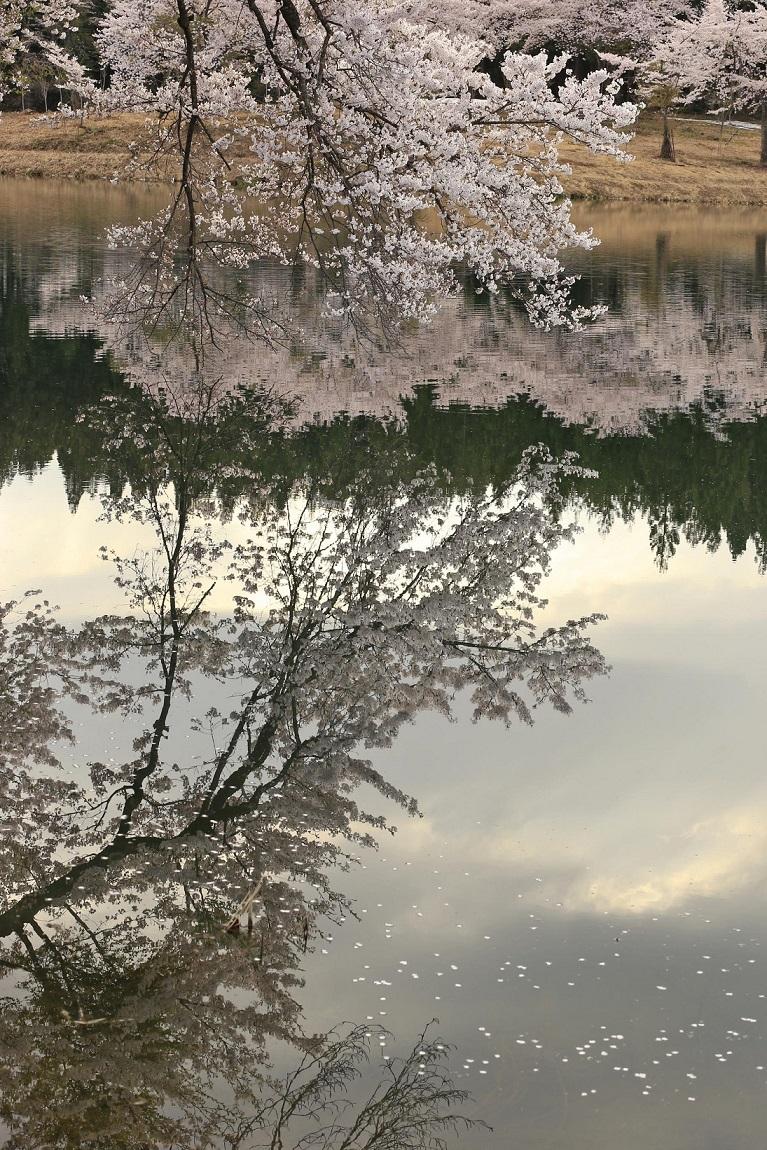 ブログ池の桜縦2