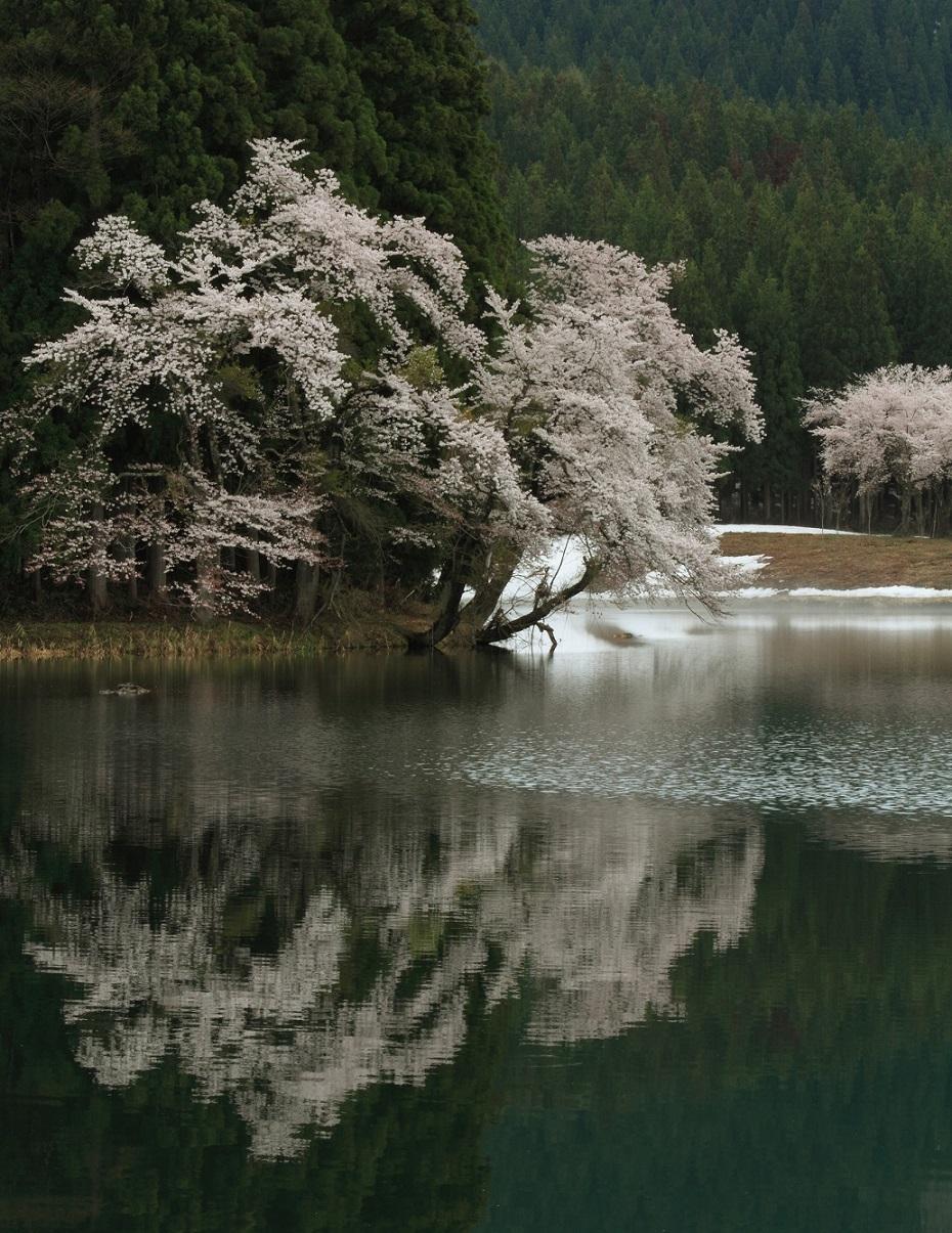 ブログ池の桜縦3