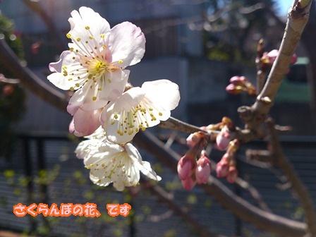 0316さくらんぼの花