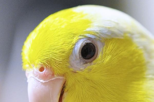 鼻の穴の下の嘴の所が充血。まぶたが腫れてるけど眼は開いたの!