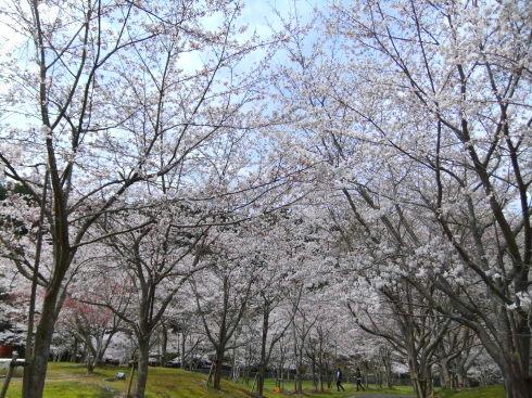 H26.亀山湖花見-8
