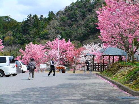 H26.亀山湖花見-15