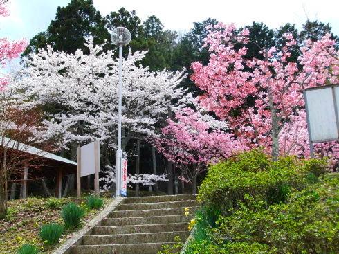H26.亀山湖花見-19