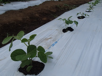 日の出町大豆 定植後の様子