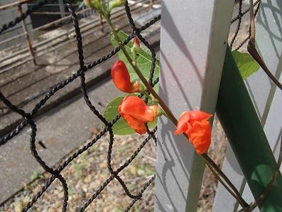 黒花豆 開花