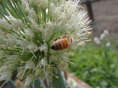 拝島ネギとミツバチ2