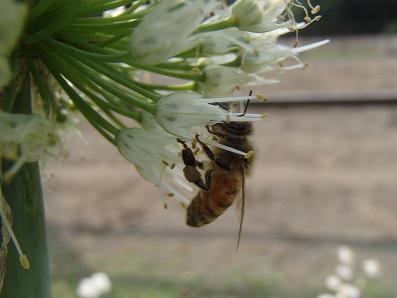 拝島ネギとミツバチ3