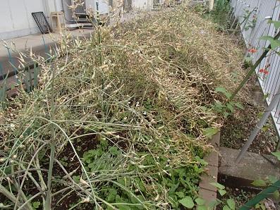 『伝統大蔵大根』 刈り取り前