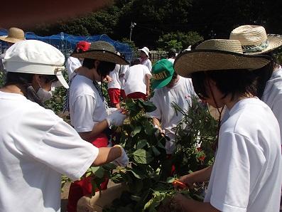 三河島枝豆 収穫3