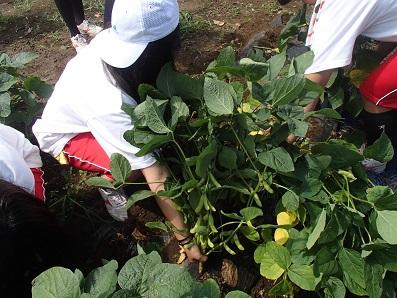 三河島枝豆 収穫4