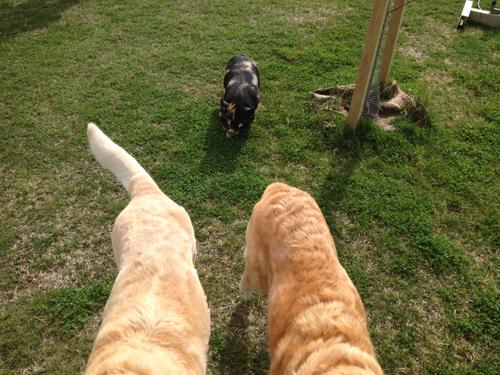 羊の国のラブラドール絵日記シニア!!「縮まる距離」写真日記4