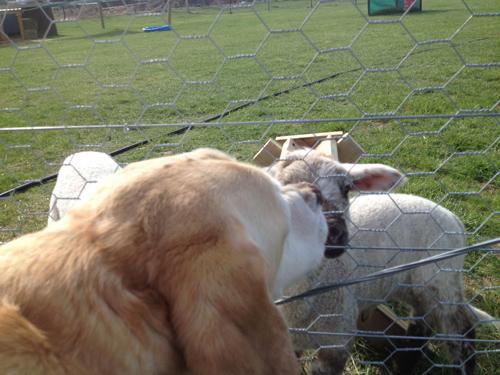 羊の国のラブラドール絵日記シニア!!「良い仕事してます」4