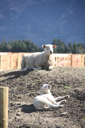 羊の国のラブラドール絵日記シニア!!「子羊の季節」5