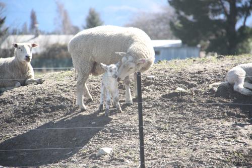 羊の国のラブラドール絵日記シニア!!「子羊の季節」6