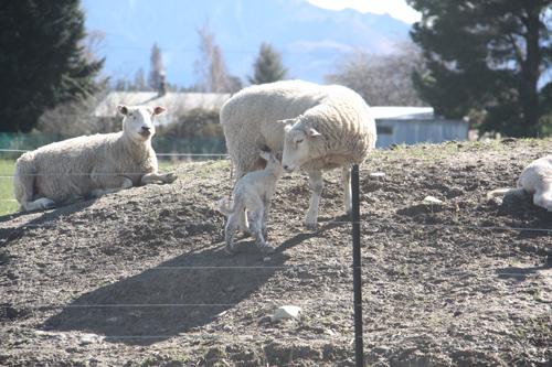 羊の国のラブラドール絵日記シニア!!「子羊の季節」7